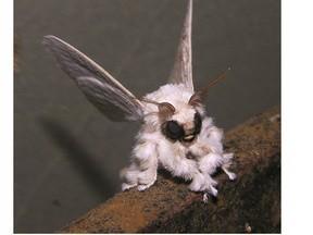 Espécie de 'mariposa-poodle' intriga cientistas pelo mundo | Cultura de massa no Século XXI (Mass Culture in the XXI Century) | Scoop.it