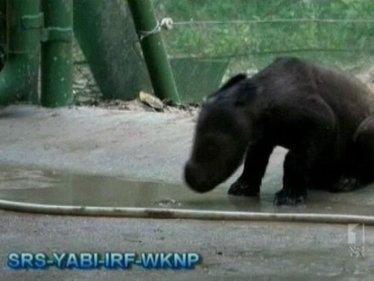 Seven rare rhinos spotted in Indonesian jungle | ABC Radio Australia | Agua | Scoop.it