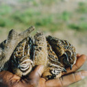 Quail farming spreads tentacles in East Africa | Zambezian | farming | Scoop.it