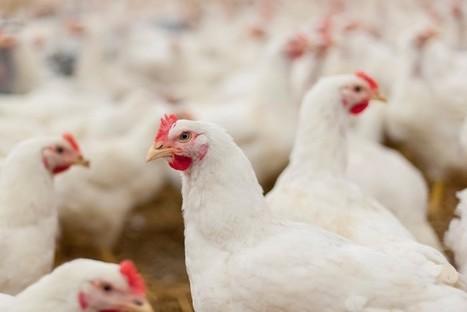 Aviaria, l'Ucraina blocca il pollame dell'Emilia-Romagna | CBRNe | Scoop.it