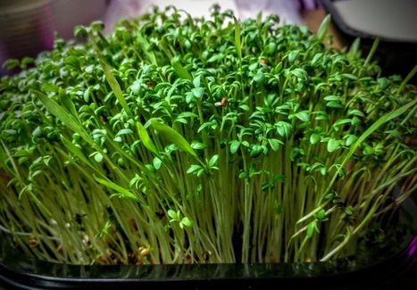Garden Cress Kit - great source of Vit K, C, Carotenoids, + Cancer Fighter (2 crops) | Vertical Farm - Food Factory | Scoop.it