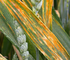 Warrior race of yellow rust on the rise in Europe | Effectors and Plant Immunity | Scoop.it