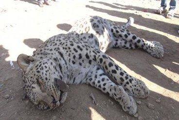 Un léopard d'une espèce considérée disparue abattu en Turquie - LaPresse.ca | Nature & Civilization | Scoop.it