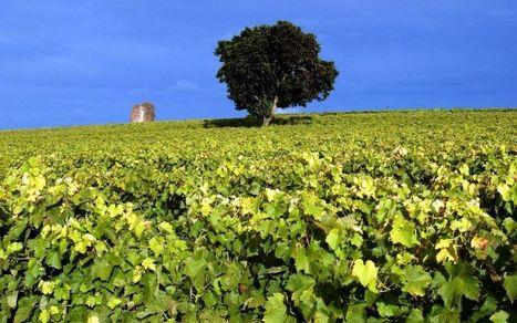 Le vignoble cognaçais face au réchauffement climatique   Le Cognac et son vignoble   Scoop.it
