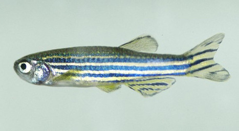 Diabetes: regeneration of the pancreas in the zebrafish | Univers(al)ités | Scoop.it