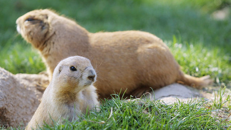 Prairie dogs' language decoded by scientists - Technology & Science - CBC News | A Sense of the Ridiculous | Scoop.it