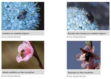 La sécurité alimentaire mondiale impactée par le déficit d'insectes pollinisateurs | SECURITE ALIMENTAIRE | Scoop.it