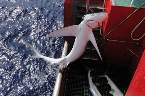 Sharks have gone from bycatch to target catch - Conservation   Oceans and Wildlife   Scoop.it