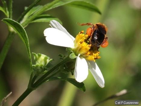 guadeloupe : L'Association des Apiculteurs de Guadeloupe, au secours de l'abeille Mélipone | Abeilles, intoxications et informations | Scoop.it