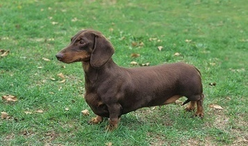 Diagnosing Fatty Liver Disease in Dachshunds | Dogs Care | Scoop.it