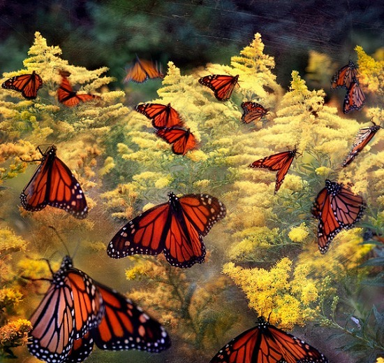 Monarch Butterfly Migration Plunges. Now at lowest level ever - Industrial Ag and Pesticides