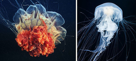 Mesmerizing Jellyfish | 16s3d: Bestioles, opinions & pétitions | Scoop.it