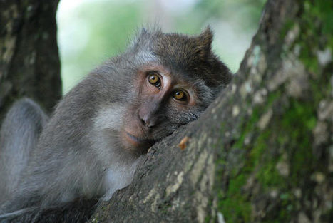 Monkey sleep, monkey do: how primates choose their trees | animals and prosocial capacities | Scoop.it