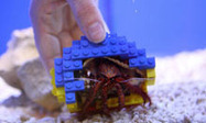 Hermit crab moves into Lego shell | Quite Interesting News | Scoop.it
