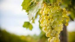 Why you won't find the word 'organic' on wine labels | wine news | Scoop.it