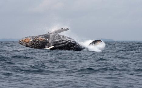 Le Japon annonce la reprise de la chasse à la baleine | Chasse, Braconnage et Droits des Animaux | Scoop.it