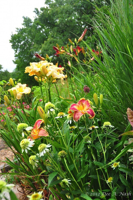 Dee Nash Red Dirt Ramblings® Growing Daylilies | Annie Haven | Haven Brand | Scoop.it