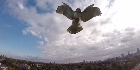 Territorial Hawk Attacks Drone Mid-Flight | #ensw diversions - questionably relevant, edgy fodder to brighten your enterprise slog | Scoop.it