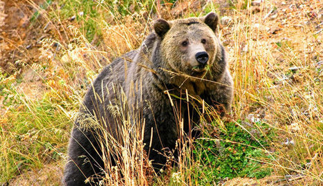 Studying Grizzly Activity | AmeriKat | Scoop.it
