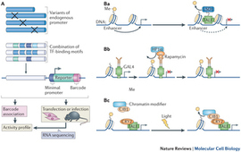 Synthetic biology in mammalian cells: next generation research tools and therapeutics : | SynBioFromLeukipposInstitute | Scoop.it