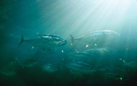 The Constant Battle for the Bluefin - Reason for Serious Concern | OUR OCEANS NEED US | Scoop.it