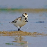Habitat Destruction Destroying Spoon-billed Sandpiper - Russia | Biodiversity IS Life  – #Conservation #Ecosystems #Wildlife #Rivers #Forests #Environment | Scoop.it