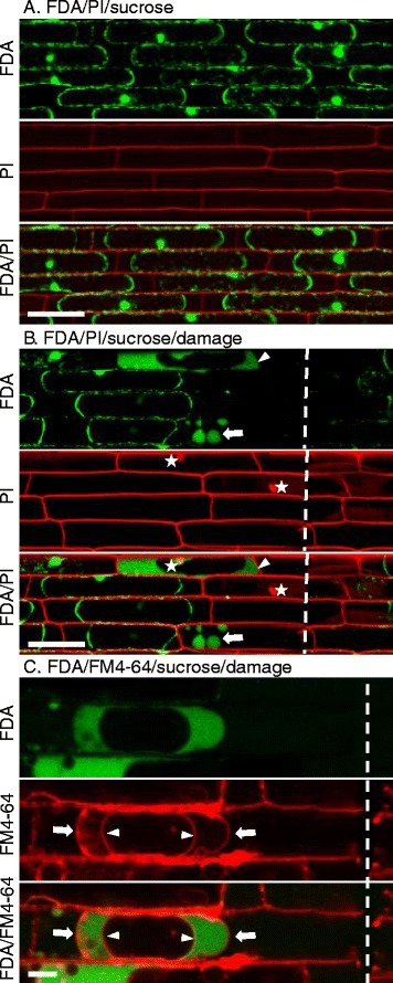 Live-cell fluorescence imaging to investigate the dynamics of plant cell death during infection by the rice blast fungus Magnaporthe oryzae | Plant-Microbe Interaction | Scoop.it
