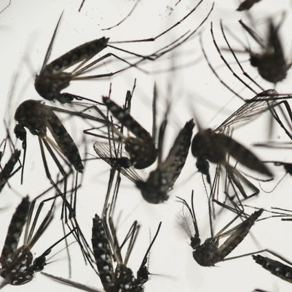 Biologists: Let's sic 'gene drive' on Zika-carrying mosquitoes | Synthetic Biology | Scoop.it