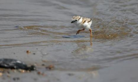 #Plovers deserve their space! beachgoers are losing the war against these tiny, adorable birds | Rescue our Ocean's & it's species from Man's Pollution! | Scoop.it