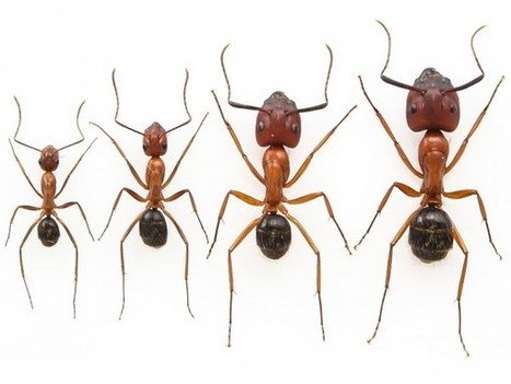 Researchers nearly double the size of worker ants | All About Ants | Scoop.it
