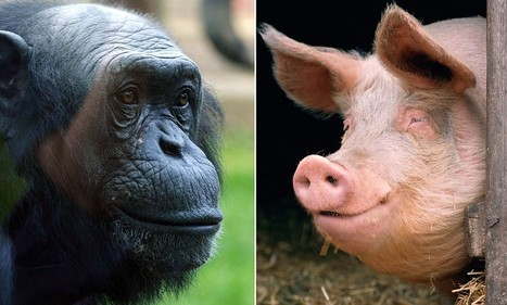 'Humans evolved after a female chimpanzee mated with a pig' | PaginaUno - Innovazione | Scoop.it