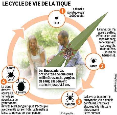 INFOGRAPHIE. Les tiques attaquent ! | EntomoScience | Scoop.it