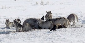 Yellowstone Wolves and the Forces That Structure Natural Systems | Papers | Scoop.it