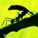 Swarm Behavior: A Single Ant or Bee isn't Smart, but their Colonies are. | All About Ants | Scoop.it