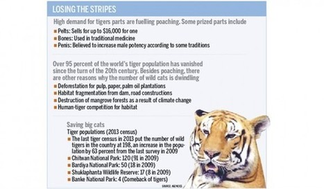 Poaching still a major threat to tigers | Rhino Poaching & Wildlife Crime | Scoop.it