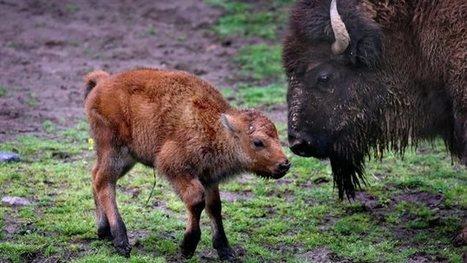 Un petit bison de Yellowstone euthanasié à cause d'un Québécois | Biodiversity protection | Scoop.it