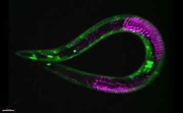 Diet restriction suspends development in nematode worms and doubles lifespan | Amazing Science | Scoop.it