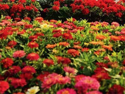 Flower prices nearly double as demand rises in wedding season, generating ... - Economic Times | Floriculture in India | Scoop.it