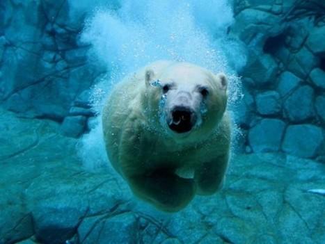 Proponen la prohibición del comercio internacional de productos derivados de osos polares | + VERDE | Agua | Scoop.it