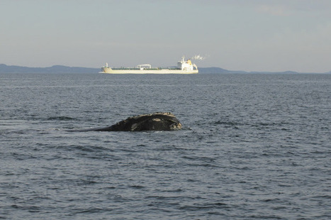 Speed restrictions for protection of right whales in perpetuity! | Saving Right Whales | Scoop.it