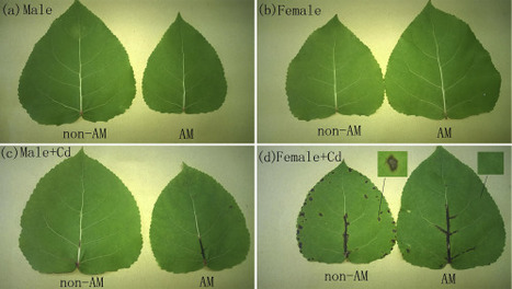 Sex-specific responses of Populus deltoides to Glomus intraradices colonization and Cd pollution | MycorWeb Plant-Microbe Interactions | Scoop.it