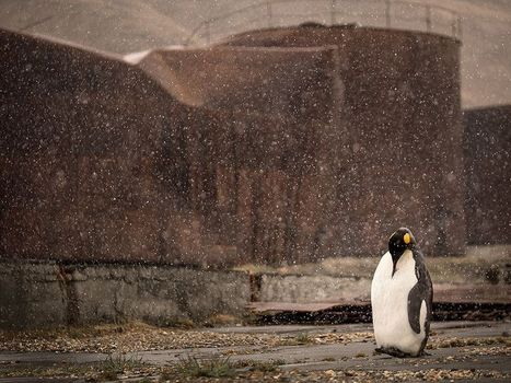 manchot royal -- National Geographic Photo of the Day | Arctique et Antarctique | Scoop.it