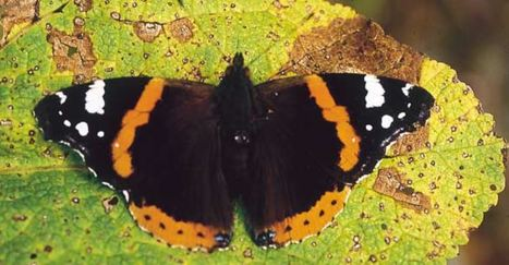 Étude des migrations de papillons en France | EntomoScience | Scoop.it