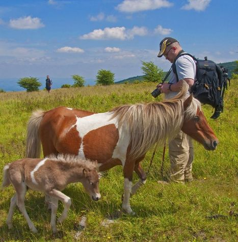 Meet the wild ponies of Grayson Highlands State Park | Biodiversity protection | Scoop.it