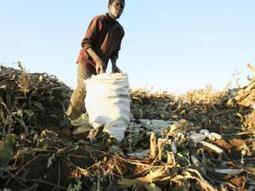 Malawians go hungry as maize prices increase   Sustainable agriculture in ACP countries   Scoop.it
