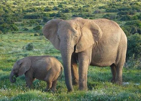 Petition: Protect two species of African #elephants as endangered #FF | Messenger for mother Earth | Scoop.it