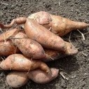 The Sweet Potato Project: Urban Agriculture as a Path Out of Poverty | Sustainable Futures | Scoop.it