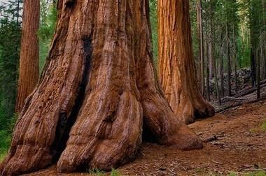 Ces arbres géants en danger (diaporama) | The Blog's Revue by OlivierSC | Scoop.it