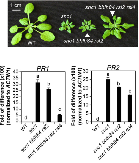 PLOS Pathogens: NLR-Associating Transcription Factor bHLH84 and Its Paralogs Function Redundantly in Plant Immunity (2014) | Plants and Microbes | Scoop.it