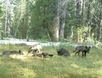 New Study Maps the Way for California Wolves, Highlights Key Strategies for Coexistence – Defenders of Wildlife Blog | GarryRogers Biosphere News | Scoop.it